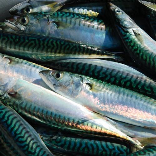 Fisk Makrel 12 kg