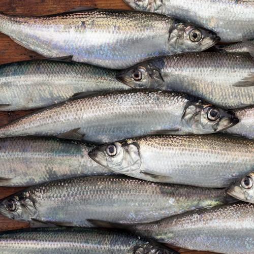 Fisk Sild 12 kg